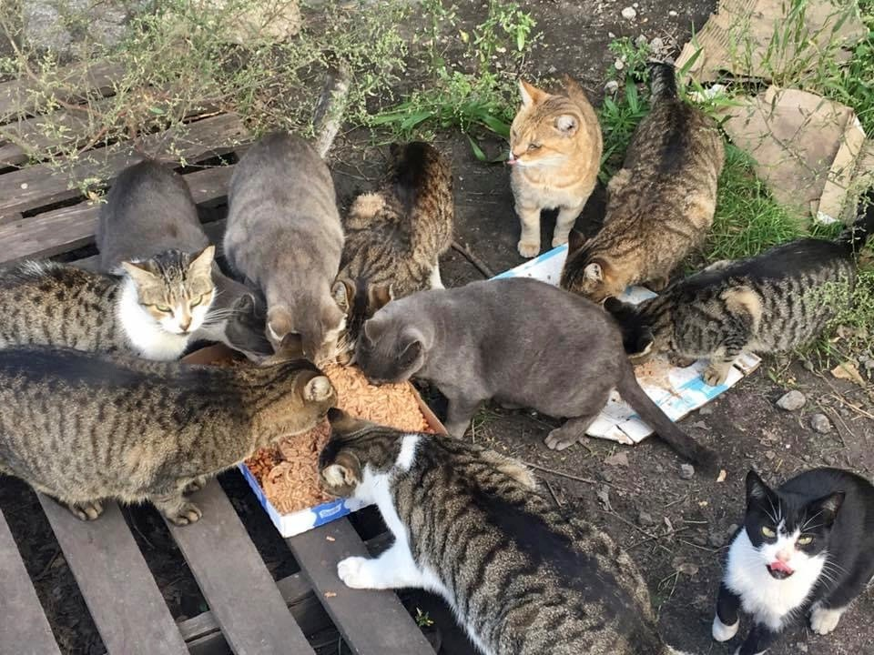 a large group of cats eating from a tray of food