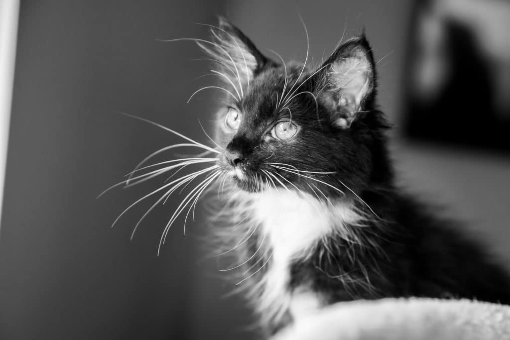 black and white image of a cat with light eyes and long whiskers